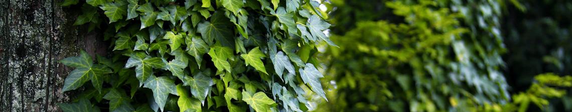 Klimop is een wintergroene kllimplant die zorgt voor een zichtdichte afscheiding