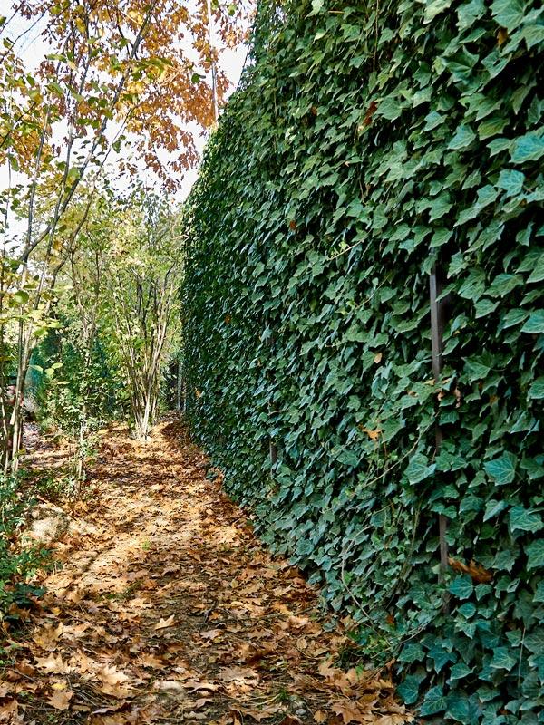 Klimop geeft jaarrond een groene wand en afscheiding