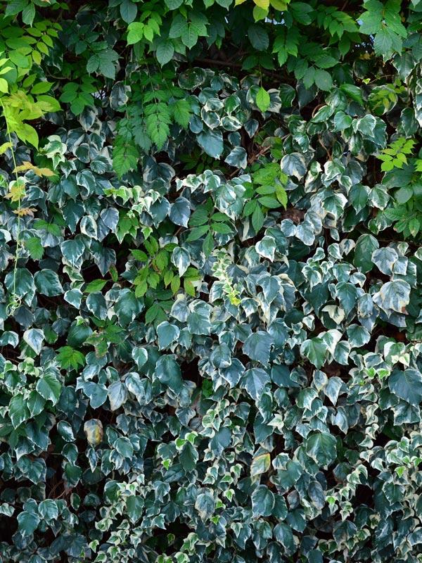 Bij deze groene wand geeft de kleur van de bladeren van de klimop een speels effect