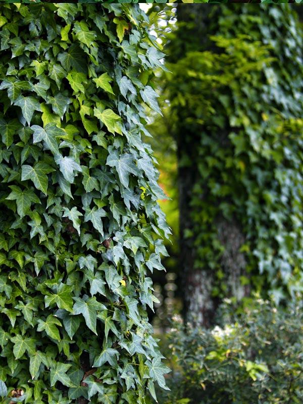 Klimop is een flinke groeier die wintergroen blijft