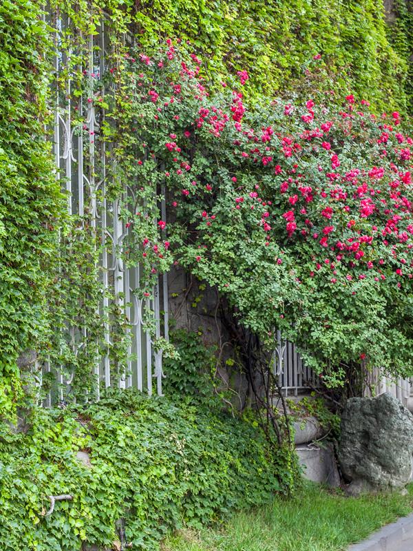 Verschillende klimplanten kunnen met elkaar worden gecombineerd om een muur te bedekken