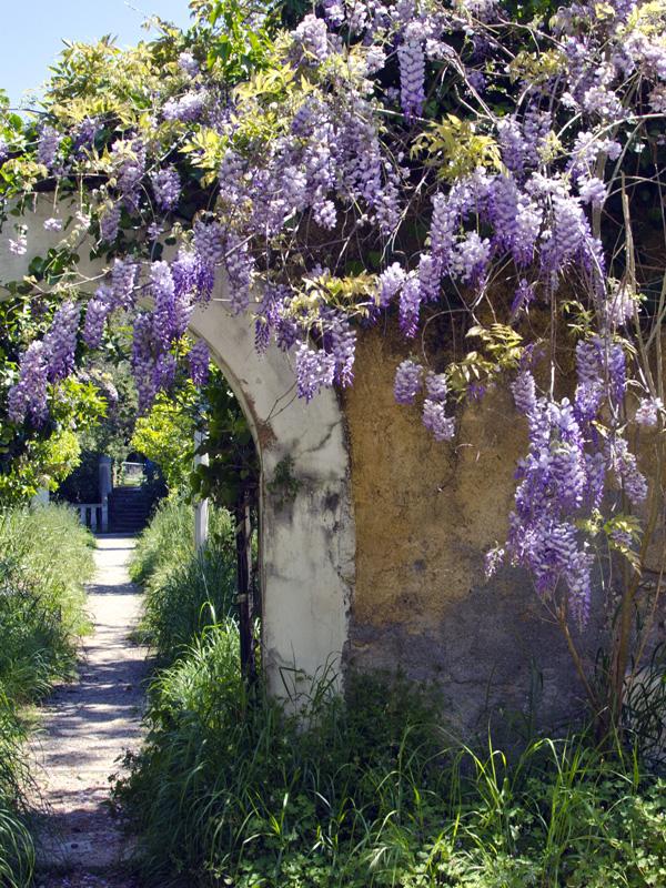 De Wisteria zorgt voor de bedekking van een muur met kleurrijke bloemen