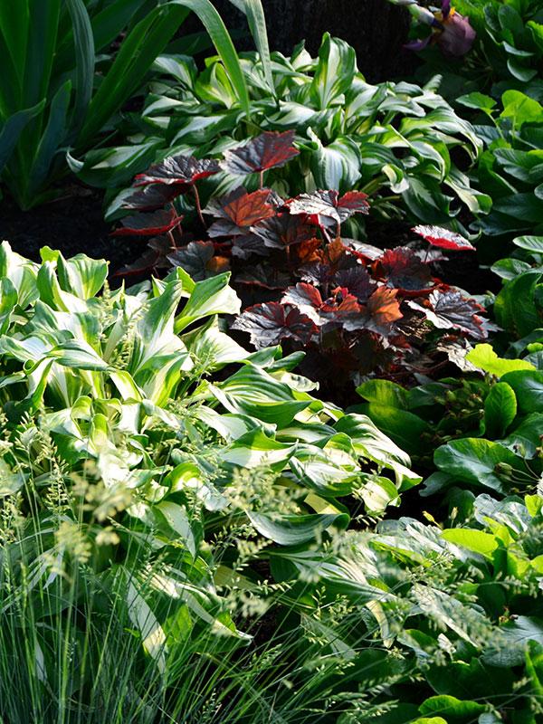 Hosta en Heuchera zijn de bekendste bladplanten