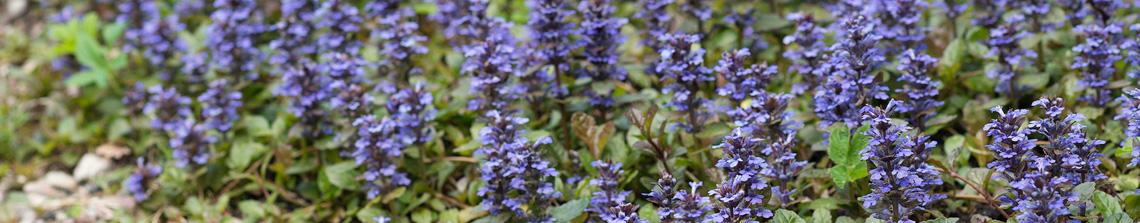 Sommige bodembedekkers geven ook een rijke bloei zoals deze Ajuga reptans 'Atropurpurea'