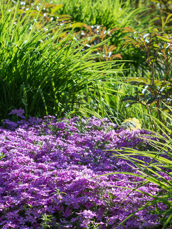 Bodembedekker als vulling tussen andere vaste planten en heesters
