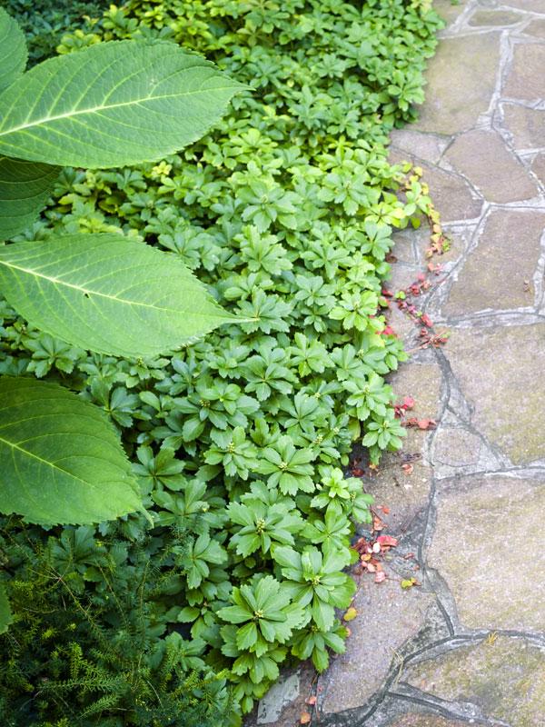 Pachysandra terminalis is een groenblijvende bodembedekker, hier langs een pad aangeplant