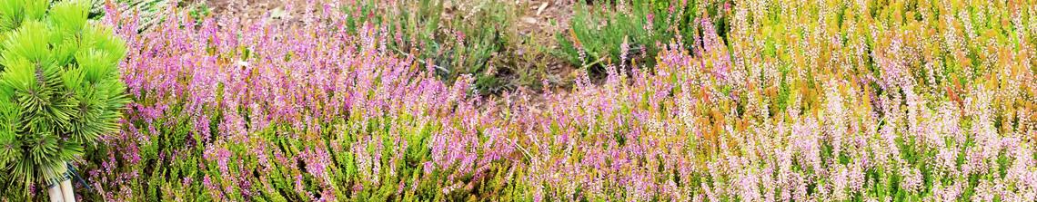 In een klassieke heidetuin worden verschillende heideplanten met elkaar gecombineerd zodat het net een echt heideveld lijkt.