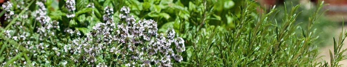 Kruidenplanten zijn niet alleen heerlijk voor in de keuken. In de tuin geven kruidenplanten het gevoel van lente en zomer