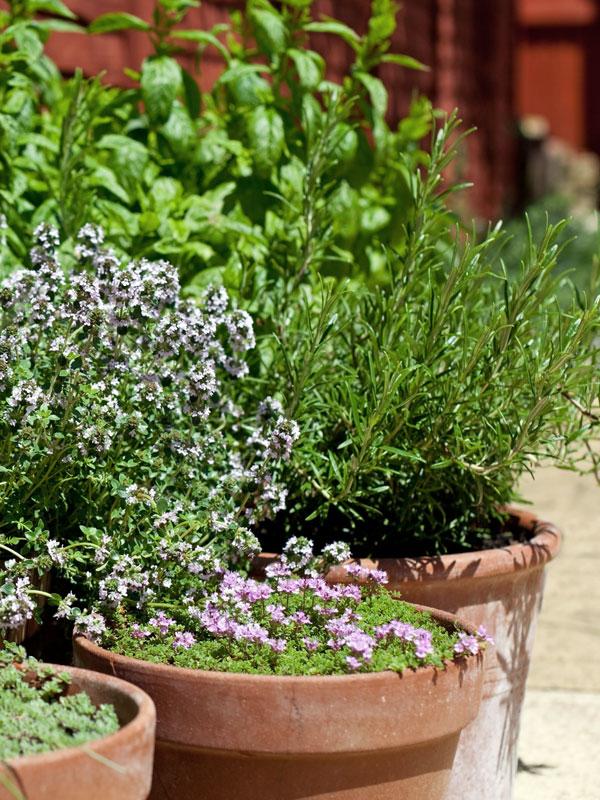 In potten staan kruidenplanten hoog van de grond waardoor ze schoon blijven bij regenval en makkelijk te gebruiken zijn