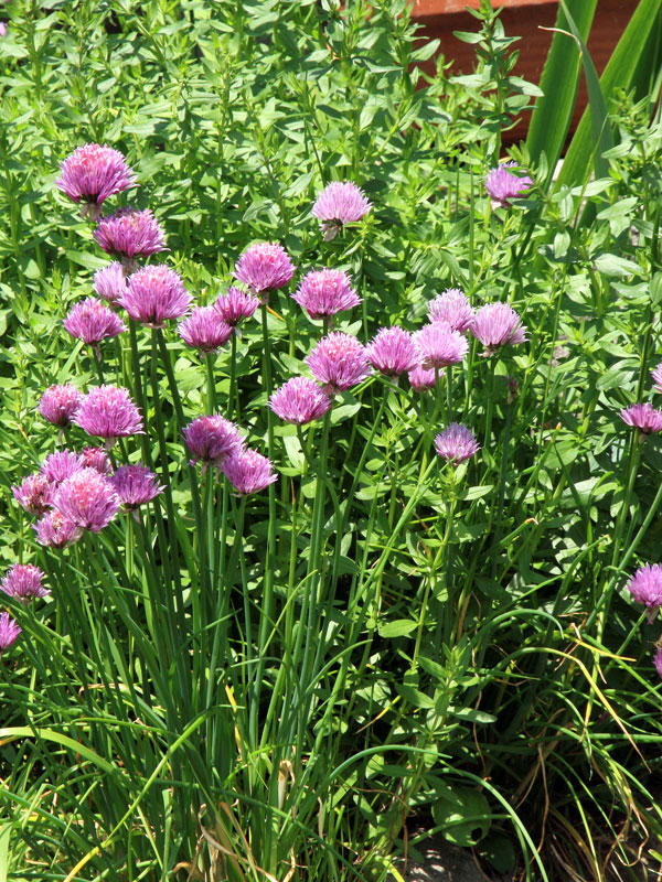 Bieslook en munt zijn veelgebruikte kruiden en passen in elke tuin