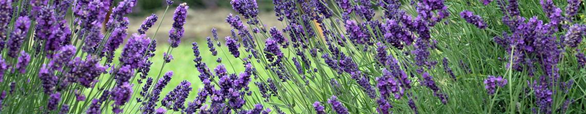 Lavendel betovert de tuin met prachtige paarse bloemen die heerlijk geuren bij aanraking.