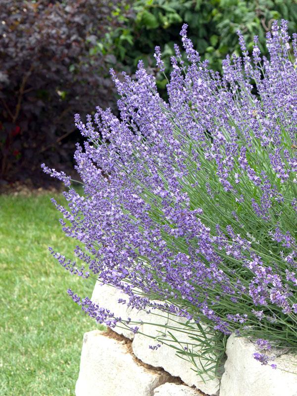 Ook in een verhoogde border komt de lavendel goed tot zijn recht