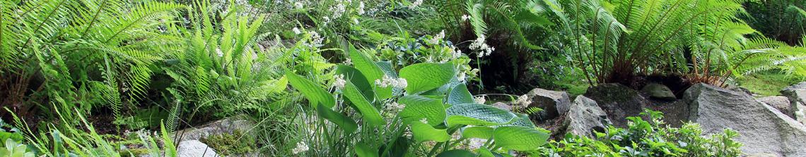 Varens zijn echte schaduwliefhebbers en combineren goed met andere andere bladplanten die van dezelfde plek houden in de tuin