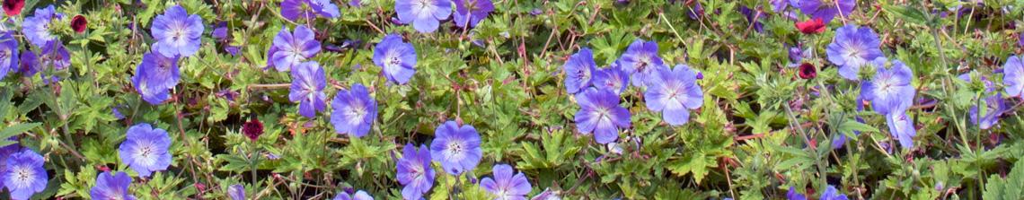 Geranium 'Rozanne' is een vaste plant geranium die bloeit van juni tot aan de vorst!