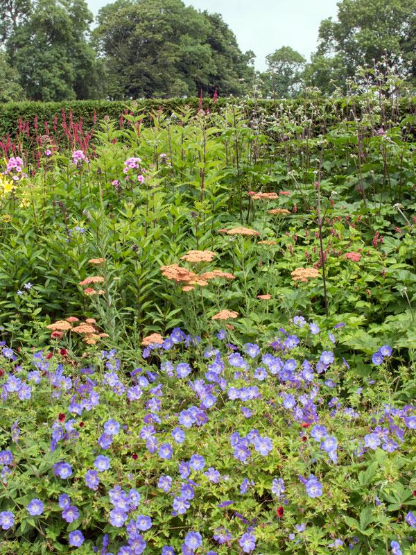 Geranium 'Rozanne' aan de voorkant van een prachtige vaste planten border