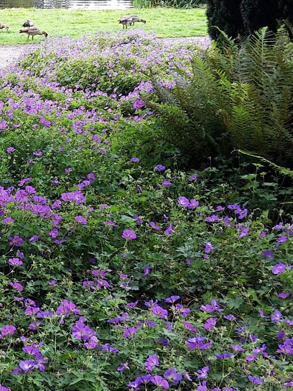 Ook op schaduwrijke plekken komt de vaste plant geranium tot zijn recht