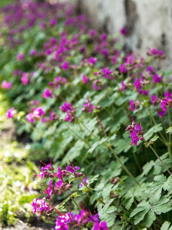 Langs een smalle rand zorgt deze Geranium macrorrhizum voor kleur