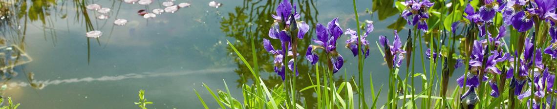 Iris rondom de vijver zijn een plaatje an sich