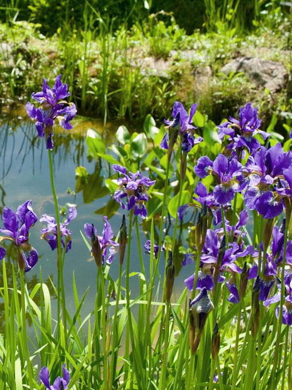 De bloei van iris wordt automatisch al geassocieerd met waterpartijen
