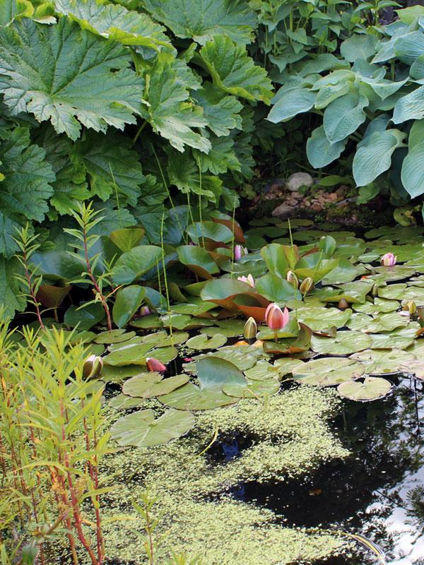 Bladplanten zoals Darmera en Hosta weerspiegelen prachtig in het water en zorgen voor een exotische sfeer